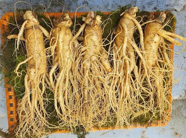 Đẹp về hình dáng thân dài củ to rể nhỏ mọc ở cuối củ sâm với hàm lượng dinh dưỡng cao