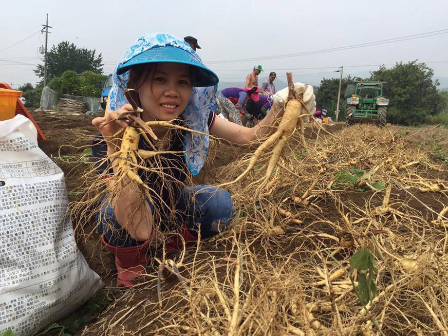 Thu hoạch nhân sâm tươi tại vườn vào tháng 9,10,11 hàng năm