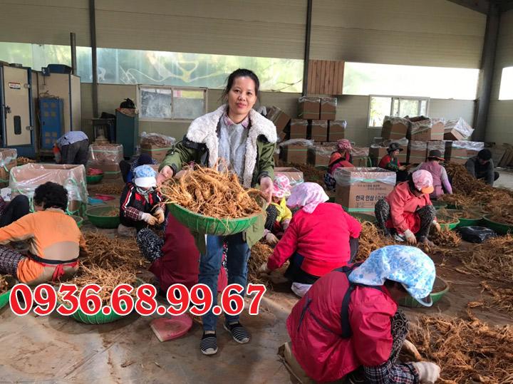 Sau khi sâm tươi được thu hoạch sẽ được chọn từng củ đạt tiêu chuẩn đưa về Việt Nam