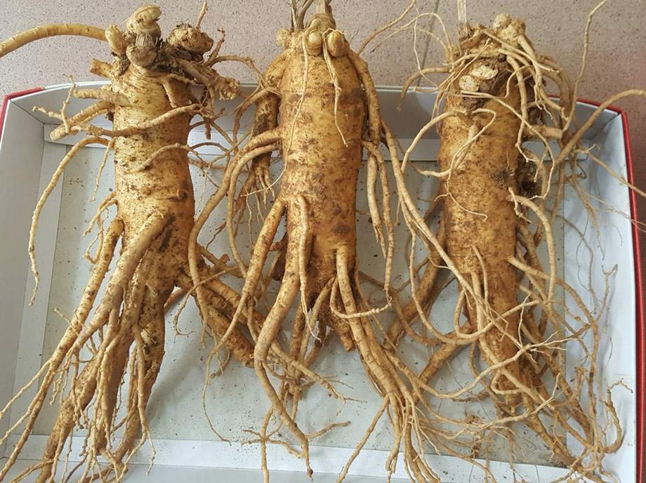 Dáng sâm dài ít rể đặc trưng của những kg sâm tươi Hàn Quốc 3 củ trồng vùng đất đỏ