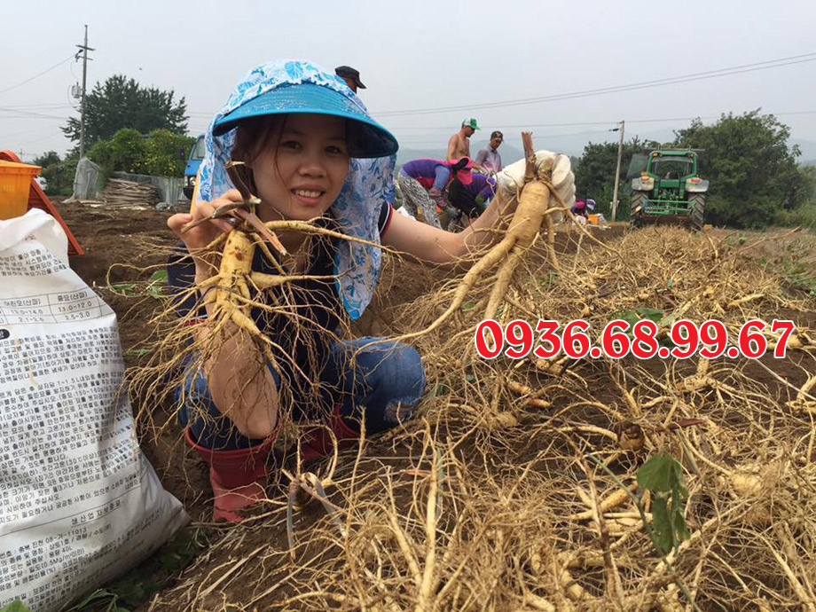 Những hình ảnh sâm tươi được thu hoạch vào tháng 10 tại Hàn Quốc